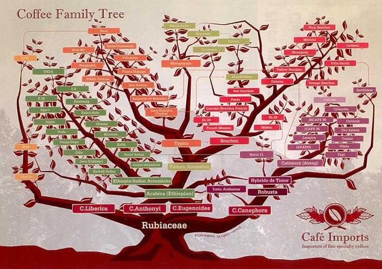 l'albero genealogico della Famiglia delle Rubiacee